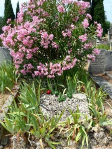 Im Juli blüht der Oleander auf dem Grab von Albert Camus. © Foto: akr
