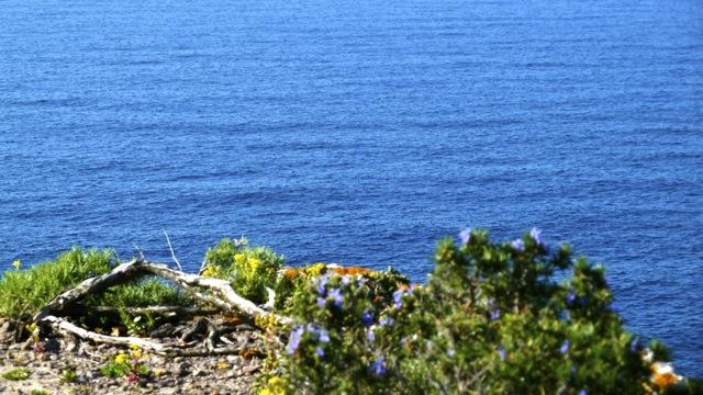 Blau blüht der Rosmarin im Frühling am Mittelmeer und verbreitet seinen würzigen Duft. ©Foto: Anne-Kathrin Reif