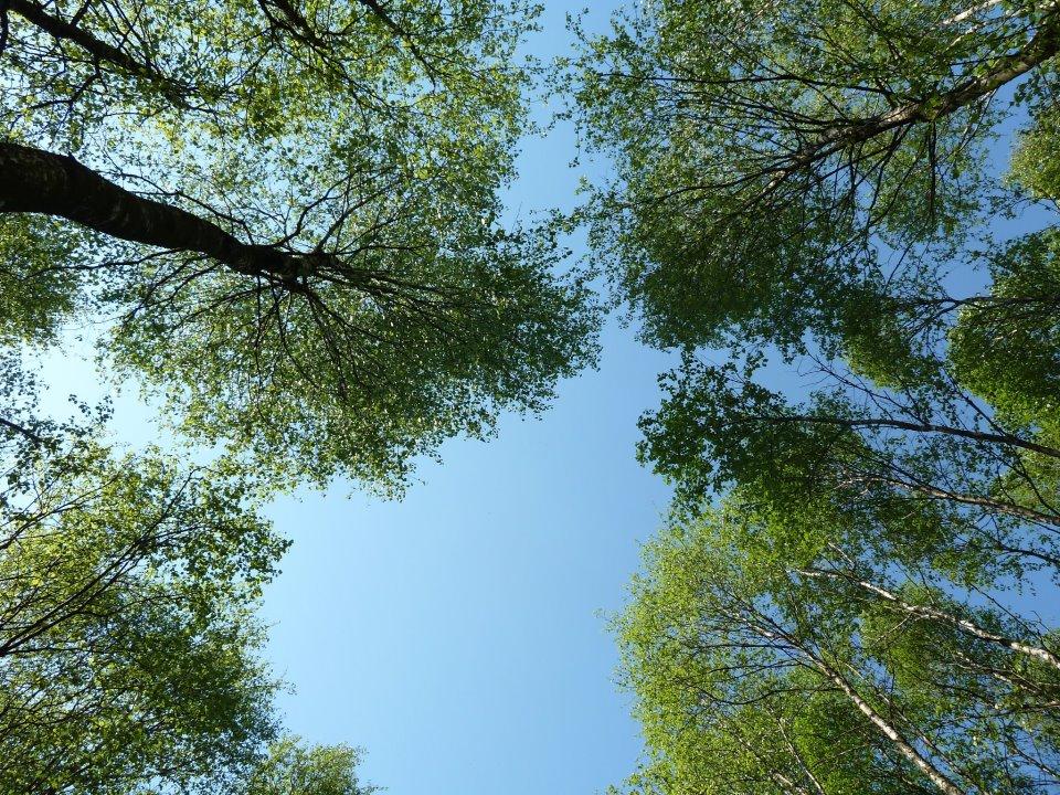 Birken, nicht Buchen. Aber aber schön, so in den Himmel zu gucken! ©Foto: Anne-Kathrin Reif